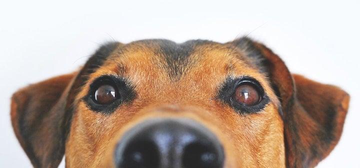 dog fauna tenders australian tenders